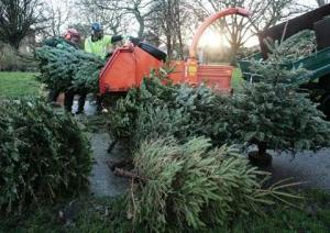 Christmas tree recycling in Catford, Lewisham, South London